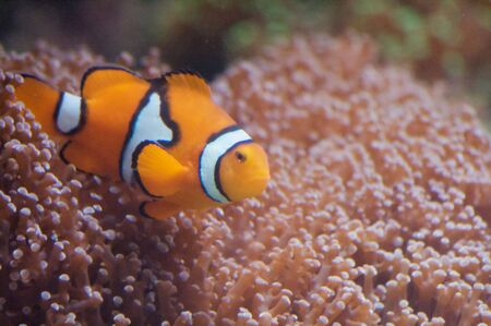 Clownfish and anemonefish are fishes from the subfamily Amphiprioninae in the family Pomacentridae. In the wild they all form symbiotic mutualisms with sea anemones. Depending on species, clownfish are overall yellow, orange, reddish, or blackish, and man photo