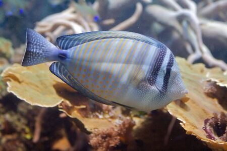 The sohal surgeonfish or sohal tang, Acanthurus sohal is compressed laterally, making it extremely maneuverable and fast along the reef. It has a horizontal, blade-like spine along the base of the tail on both sides, which folds into the fish, pointing an Stock Photo - 6096346