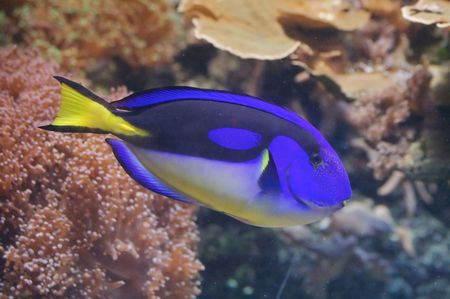Doris character from Nemo cartoon is a regal tang. Paracanthurus hepatus (regal tang, hippo tang) is a colorful (light and dark blue, black and yellow) reef fish in the family Acanthuridae. Stock Photo