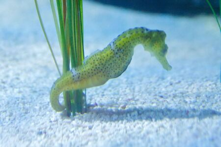 The longsnout seahorse or slender seahorse (Hippocampus reidi) is a species of fish in the Syngnathidae family. Stock Photo