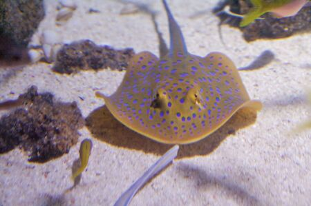 taeniura: The bluespotted ribbontail ray, Taeniura lymma, is a species of stingray in the family Dasyatidae, common throughout the coral reefs. This ray is easily recognizable by its oval pectoral fin disk, relatively short and thick tail with a deep fin fold
