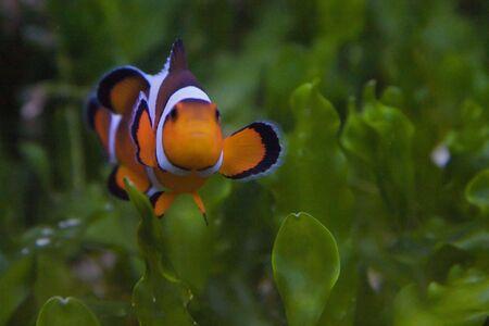 Nemo, the clownfish Stock Photo - 6155793