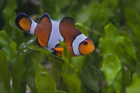 Nemo, the clownfish photo
