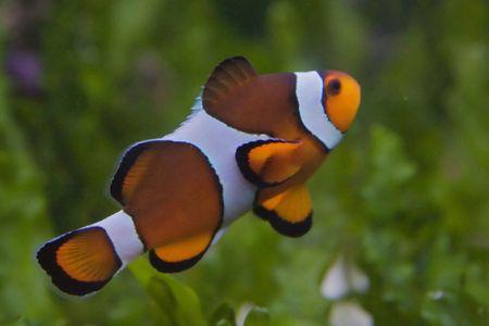 Nemo, the clownfish Stock Photo - 6147384