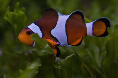 Nemo, the clownfish Stock Photo - 6155787