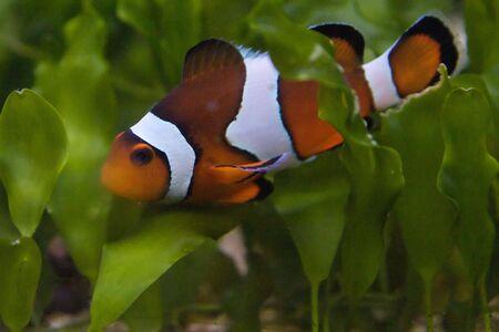 Anemone fish Stock Photo - 6147383