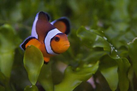 Nemo, the clownfish