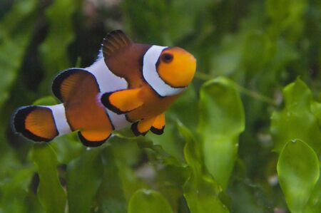 Clownfish Stock Photo - 6150481