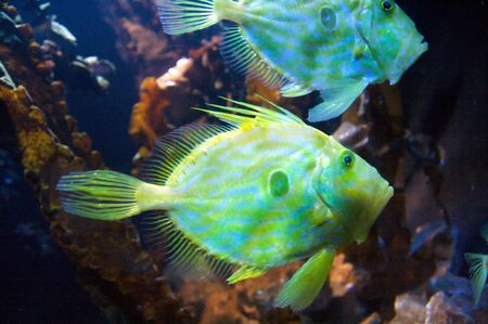 Congiopodidae is a family of scorpaeniform fishes native to the southern hemisphere, commonly known as pigfishes, horsefishes and racehorses. Stock Photo - 6232712