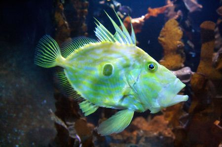 Congiopodidae is a family of scorpaeniform fishes native to the southern hemisphere, commonly known as pigfishes, horsefishes and racehorses. Stock Photo - 6193545