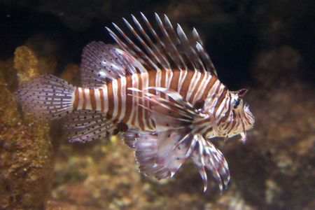 The red lionfish (Pterois volitans) venomous coral reef fish is clad in white stripes alternated with red, maroon, or brown. The fish has fleshy tentacles that protrude from both above the eyes and below the mouth. The pectoral fin is present in a distinc photo