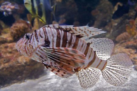 volitans: The red lionfish (Pterois volitans) venomous coral reef fish is clad in white stripes alternated with red, maroon, or brown. The fish has fleshy tentacles that protrude from both above the eyes and below the mouth. The pectoral fin is present in a distinc Stock Photo