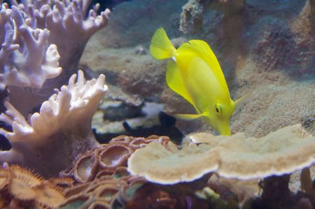 flavescens: The yellow tang (Zebrasoma flavescens) is a saltwater fish species of the family Acanthuridae (surgeonfish family)