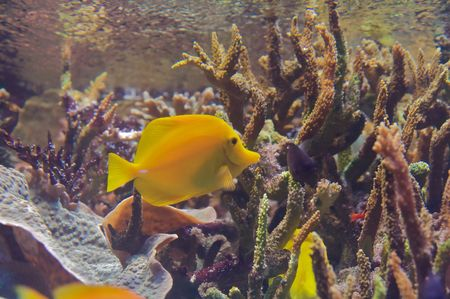 The yellow tang (Zebrasoma flavescens) is a saltwater fish species of the family Acanthuridae (surgeonfish family) Stock Photo - 6234255