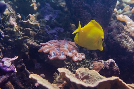 The yellow tang (Zebrasoma flavescens) is a saltwater fish species of the family Acanthuridae (surgeonfish family) Stock Photo - 6232689