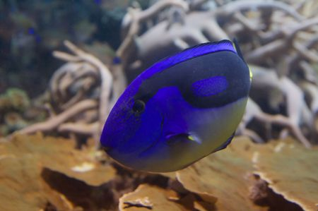 Doris character from Nemo cartoon is a regal tang. Paracanthurus hepatus (regal tang, hippo tang) is a colorful (light and dark blue, black and yellow) reef fish in the family Acanthuridae. Stock Photo - 6193544