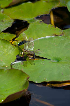anisoptera: Dragon Fly (Anisoptera) on the water