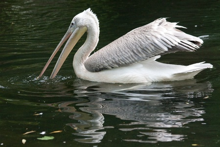 ink-backed Pelican (Pelecanus rufescens) on the lake. Stock Photo - 11766252