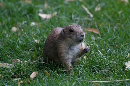 herpestidae: Mongoose (Herpestidae) in the sand eating grass.