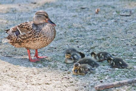 Common duck with sleepy babies photo