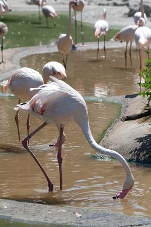 gregarious: American Flamingos, Phoenicopterus ruber, gregarious wading birds in the genus Phoenicopterus Stock Photo
