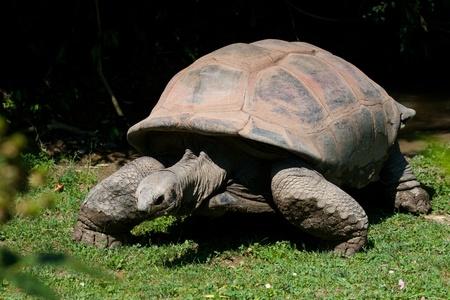 seychelles: 거북이 (육지 거북), Testudinidae의 가족의 토지 사는 파충류, 주문 Testudines.