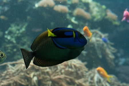 hepatus: Dora in Nemo movie, a blue, black and yellow fish-surgeon or blue regal tang (paracanthurus hepatus)