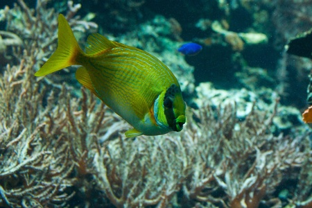 Underwater view of yellow tang and marine vegetation photo