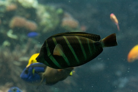 The surgeonfish or tang, Acanthuridae (thorn tail), marine fish living in tropical seas, usually around coral reefs. Stock Photo - 11766894