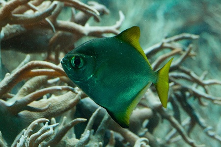 hepatus: Underwater image of fish and sea vegetation Stock Photo
