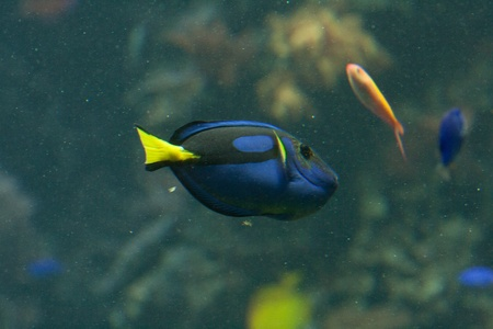 paracanthurus: Dora in Nemo movie, a blue, black and yellow fish-surgeon or blue regal tang (paracanthurus hepatus)