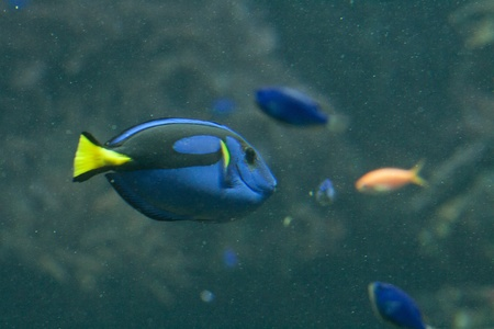 fishtank: Dora in Nemo movie, a blue, black and yellow fish-surgeon or blue regal tang (paracanthurus hepatus)