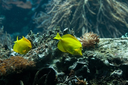 The yellow tang (Zebrasoma flavescens) is a saltwater fish species of the family Acanthuridae (surgeonfish family) photo