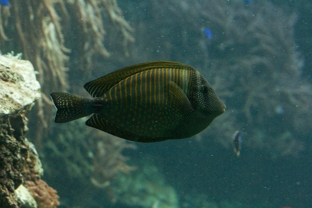 hepatus: The surgeonfish or tang, Acanthuridae (thorn tail), marine fish living in tropical seas, usually around coral reefs. Stock Photo