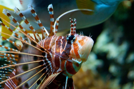 The red lionfish (Pterois volitans) venomous coral reef fish is clad in white stripes alternated with red, maroon, or brown. The fish has fleshy tentacles that protrude from both above the eyes and below the mouth photo
