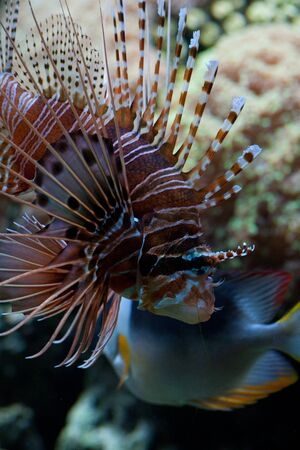 protrude: The red lionfish (Pterois volitans) venomous coral reef fish is clad in white stripes alternated with red, maroon, or brown. The fish has fleshy tentacles that protrude from both above the eyes and below the mouth Stock Photo