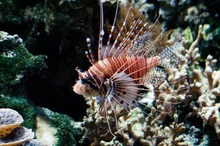 volitans: The red lionfish (Pterois volitans) venomous coral reef fish is clad in white stripes alternated with red, maroon, or brown. The fish has fleshy tentacles that protrude from both above the eyes and below the mouth Stock Photo