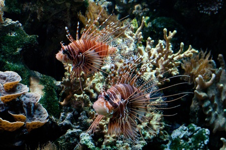 pterois volitans: The red lionfish (Pterois volitans) venomous coral reef fish is clad in white stripes alternated with red, maroon, or brown. The fish has fleshy tentacles that protrude from both above the eyes and below the mouth Stock Photo