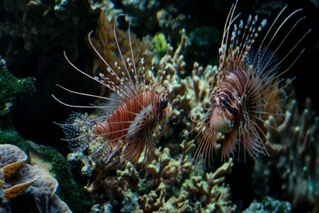 The red lionfish (Pterois volitans) venomous coral reef fish is clad in white stripes alternated with red, maroon, or brown. The fish has fleshy tentacles that protrude from both above the eyes and below the mouth Stock Photo - 11766916
