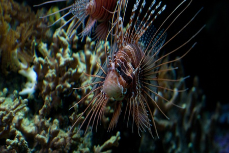 fleshy: The red lionfish (Pterois volitans) venomous coral reef fish is clad in white stripes alternated with red, maroon, or brown. The fish has fleshy tentacles that protrude from both above the eyes and below the mouth Stock Photo