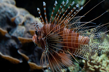 The red lionfish (Pterois volitans) venomous coral reef fish is clad in white stripes alternated with red, maroon, or brown. The fish has fleshy tentacles that protrude from both above the eyes and below the mouth Stock Photo - 11767063