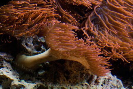 CloseUp view of water anemone, which form a symbiotic mutualisms with the anemonefish. photo