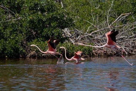 American Flamingos, Phoenicopterus ruber, gregarious wading birds in the genus Phoenicopterus taking off in El Cuyo Yucatan, Ria Lagartos Biosphere Reserve, Yucatan, Mexico. photo