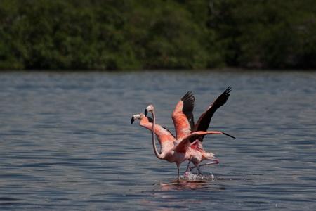 gregarious: American Flamingos, Phoenicopterus ruber, gregarious wading birds in the genus Phoenicopterus taking off in El Cuyo Yucatan, Ria Lagartos Biosphere Reserve, Yucatan, Mexico.
