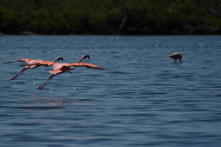 American Flamingos, Phoenicopterus ruber, gregarious wading birds in the genus Phoenicopterus taking off in El Cuyo Yucatan, Ria Lagartos Biosphere Reserve, Yucatan, Mexico. photo