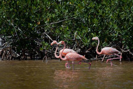 American Flamingos, Phoenicopterus ruber, gregarious wading birds in the genus Phoenicopterus in El Cuyo Yucatan, Ria Lagartos Biosphere Reserve, Yucatan, Mexico. Stock Photo - 11768059