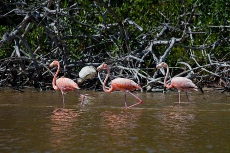 American Flamingos, Phoenicopterus ruber, gregarious wading birds in the genus Phoenicopterus in El Cuyo Yucatan, Ria Lagartos Biosphere Reserve, Yucatan, Mexico. Stock Photo - 11767132