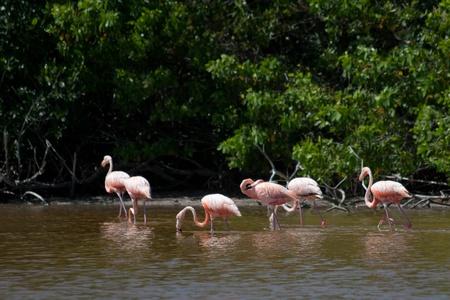 gregarious: American Flamingos, Phoenicopterus ruber, gregarious wading birds in the genus Phoenicopterus in El Cuyo Yucatan, Ria Lagartos Biosphere Reserve, Yucatan, Mexico.