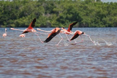 phoenicopterus: American Flamingos, Phoenicopterus ruber, gregarious wading birds in the genus Phoenicopterus taking off in El Cuyo Yucatan, Ria Lagartos Biosphere Reserve, Yucatan, Mexico.