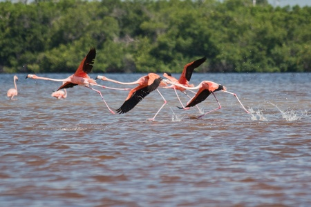 phoenicopterus: Americano Flamingos, Phoenicopterus ruber, trampolieri gregari nel Phoenicopterus genere decollare in El Cuyo Yucatan, Ria Lagartos Riserva della Biosfera, Yucatan, in Messico.